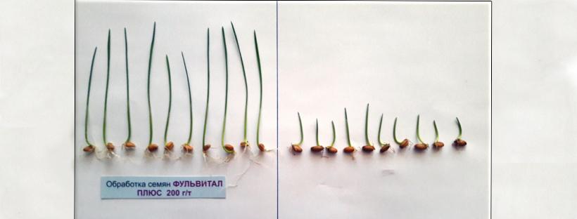 Опыт по обработке семян пшеницы и кукурузы Фульвиталом Плюс.